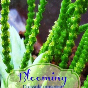Blooming Crassula muscosa watch chain - The Hypertufa Gardener