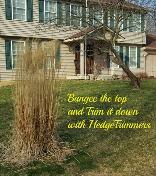 When To Cut Ornamental Grasses Trimming ornamental grasses a bungee cord happiness the bungee the tops1 workwithnaturefo