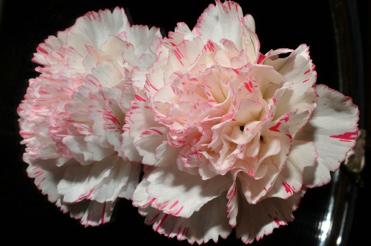 Carnation - Keep to white or red tones, avoid the yellow ones. You've been warned.