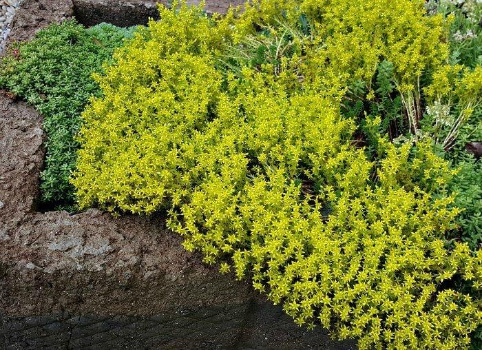Cascading Sedum in Large Trough - The Hypertufa Gardener