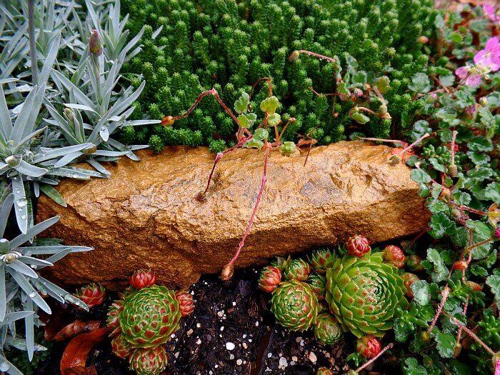 Closeup of Miniature Plant Erodium - The Hypertufa Gardener