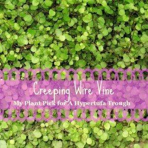 Creeping Wire Vine - mat forming - The Hypertufa Gardener(1)
