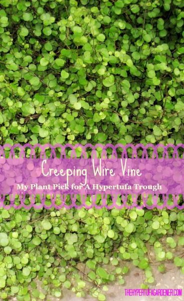 Creeping Wire Vine - mat forming - The Hypertufa Gardener(1)