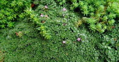 Loving the Miniature Plants - Elfin Thyme