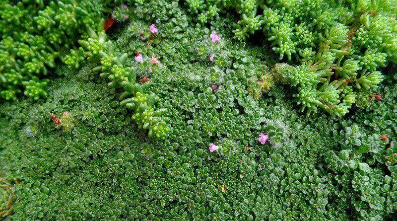 Loving the Miniature Plants - Elfin Thyme