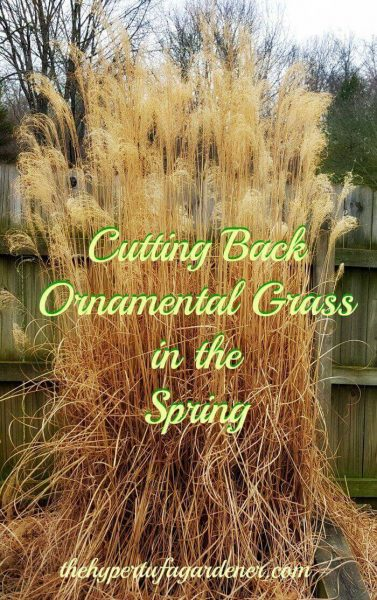When To Prune Ornamental Grasses Trimming ornamental grasses a bungee cord happiness the ornamental grass springtime workwithnaturefo