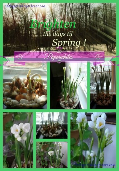 Paperwhites are blooming - Green Blooming Paperwhites-thehypertufagardener(1)