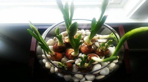 My Paperwhites Are Blooming!