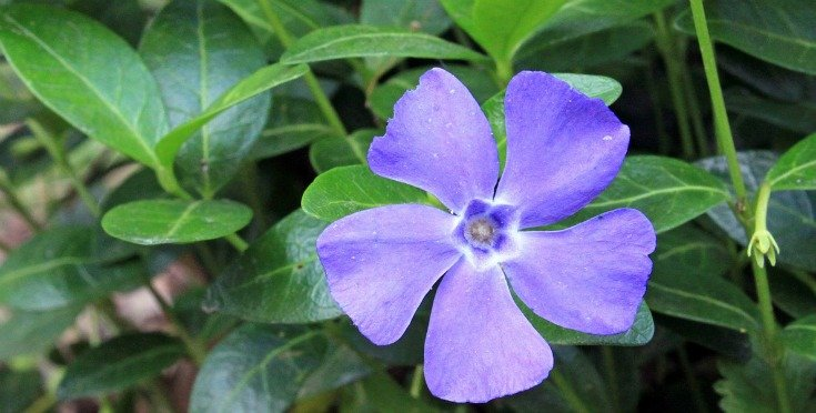 Periwinkle or myrtle - a symbol of joy and love