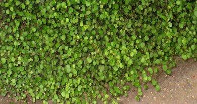 Plant Pick Creeping Wire Vine from The Hypertufa Gardener.com(1)(1)