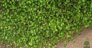 Plant-Pick-Creeping-Wire-Vine-from-The-Hypertufa-Gardener.com
