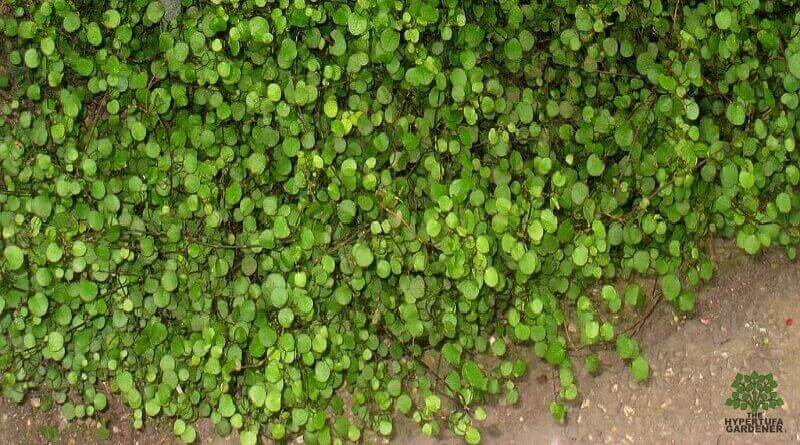 Plant-Pick-Creeping-Wire-Vine-from-The-Hypertufa-Gardener.com