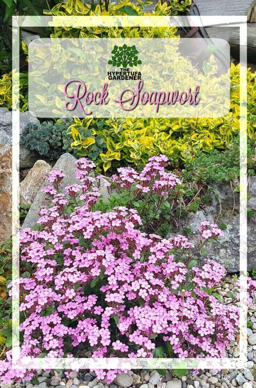image of blooming rock soapwort