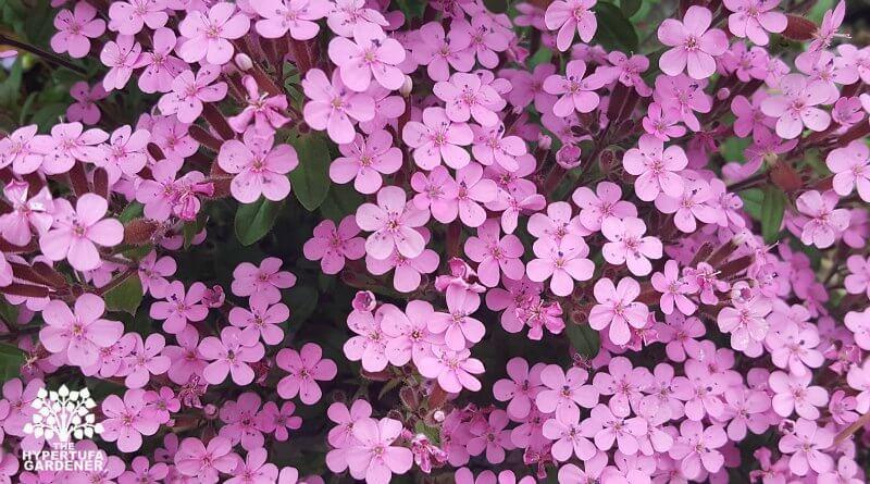Rock Soapwort in bloom in May