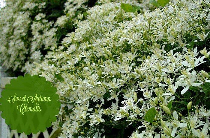 Sweet Autumn Clematis - Kims Gardens