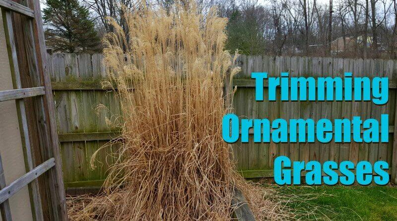 Trimming Ornamental Grasses in Spring