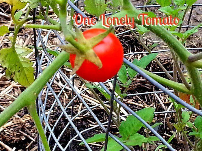 Vegetable Crop for the Year - The Hypertufa Gardener
