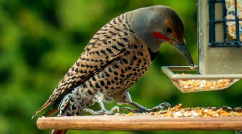 A hungry woodpecker