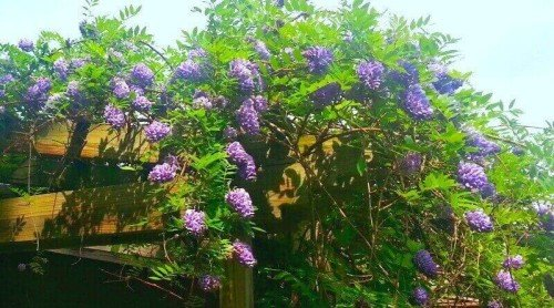 Bewitching  Stunning  Wisteria – Isn't It In Fairy Tales?