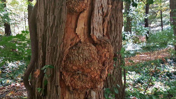 Burls on Osage Orange(1)