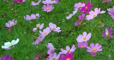 A Garden of Volunteers – Re-seeding Annuals