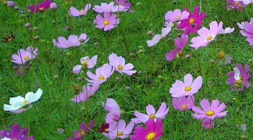 A Garden of Volunteers – Re-seeding Annuals
