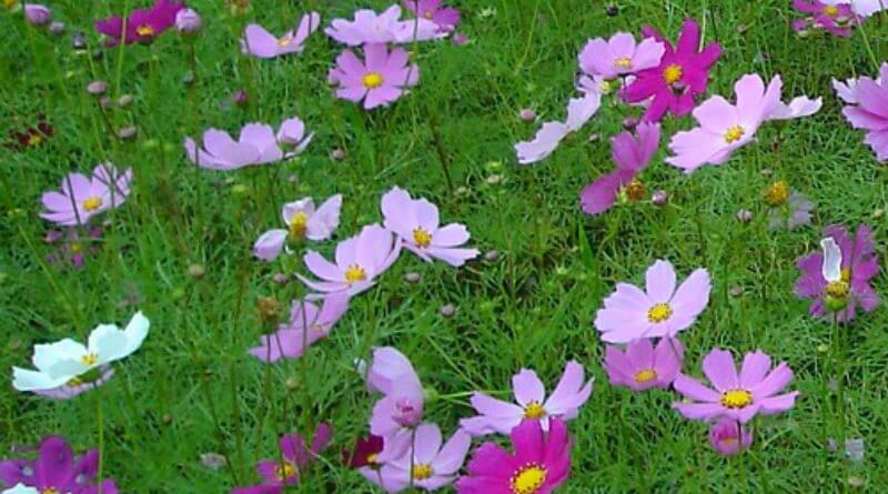 Cosmos-reseeding-annual