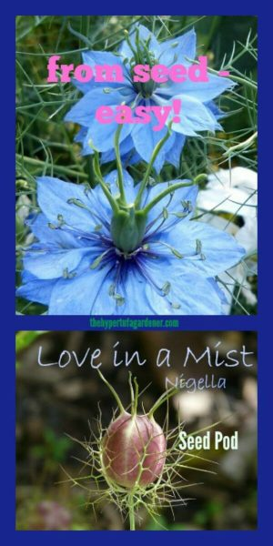 Nigella or Love in a Mist -one of the re-seeding annuals that I love the most!