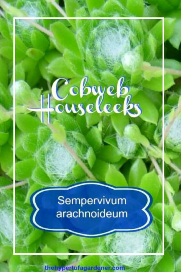Sempervivum Arachnoideum or Cobweb Houseleeks