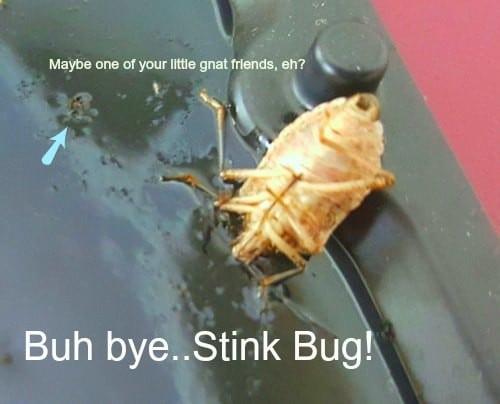 image of Stink bug demise on glue trap