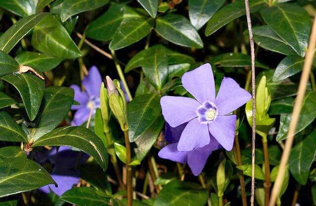 image of blue vinca minor periwinkle