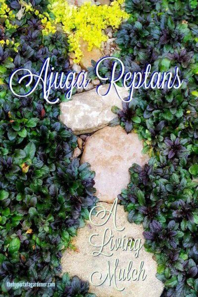 Ajuga reptans as a living mulch