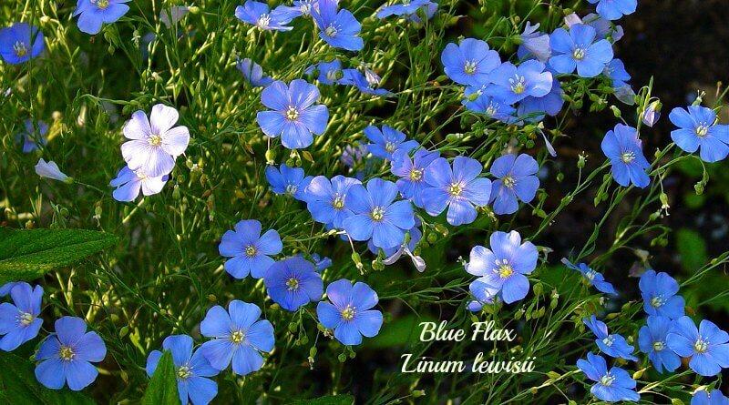 Blue Flax Linum lewisii