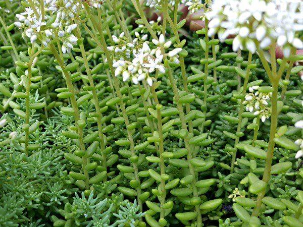Close up Sedum coral carpet in bloom