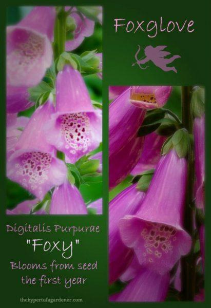 Foxglove-digitalis-purpurae-Foxy-hypertufa-gardener