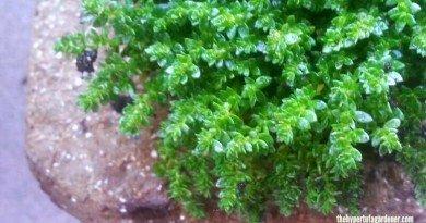 Herniaria glabra- rupturewort