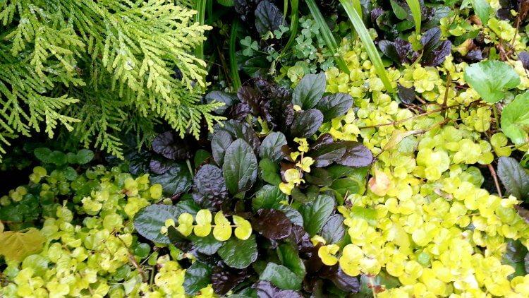 Plant Pick Ajuga Reptans