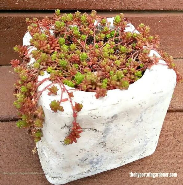 Sedum-Coral-Carpet