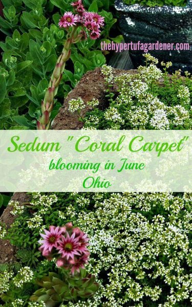 Sedum coral carpet blooming in June
