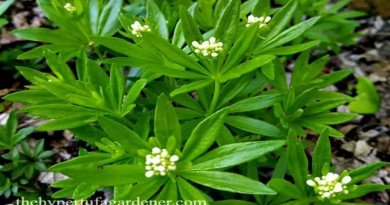 Spring is – The Scent of Sweet Woodruff