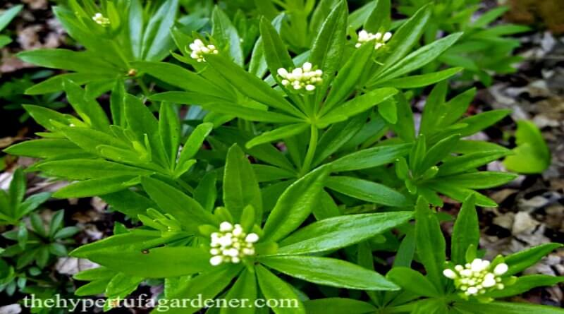 Spring brings Sweet Woodruff