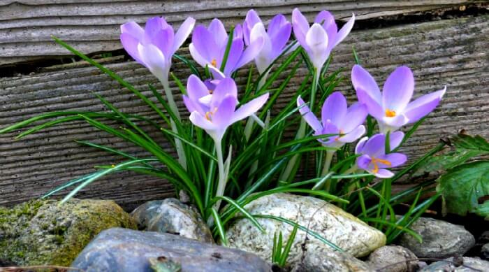 crocus -time to fertilize now(1)