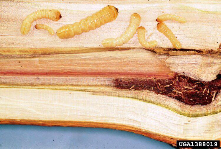 Asian Longhorned Beetle Larvae