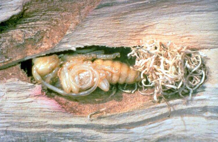Asian Longhorned Beetle pupa_inside_log