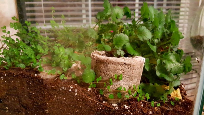 Budding Erodium - choosing plants for hypertufa planters