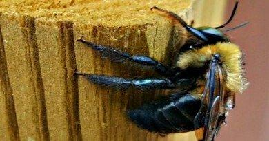 Carpenter Bee- Friend or Foe