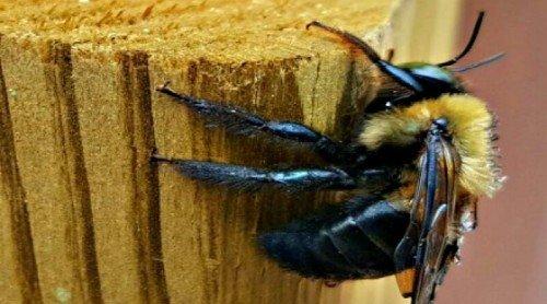 Carpenter Bees: Friend or Foe?