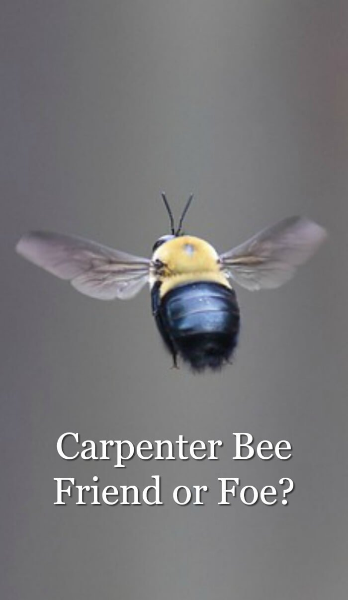 image of flying carpenter bee
