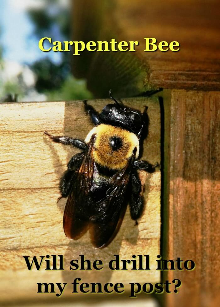 image of carpenter bee on fence post