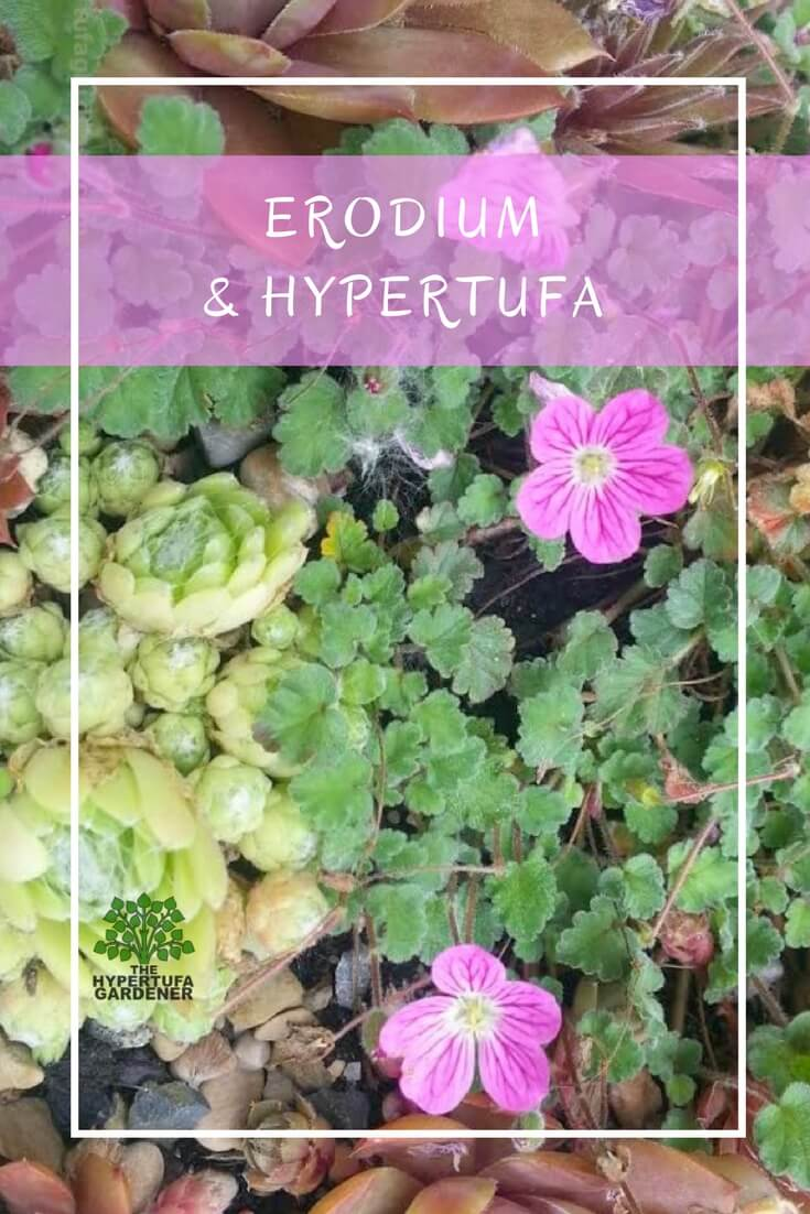 Choosing Plants for Hypertufa - Erodium blooms all season